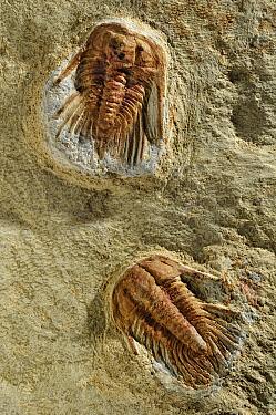 Trilobite fossils, Spain  -  Albert Lleal