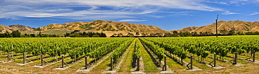 Vineyard, lower Awatere Valley, New Zealand  -  Colin Monteath/ Hedgehog House