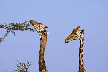Reticulated Giraffe (Giraffa reticulata) female browsing on acacia tree, Ol Pejeta Conservancy, Kenya  -  Richard Du Toit