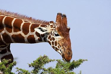 Reticulated Giraffe (Giraffa reticulata) male browsing on acacia, Ol Pejeta Conservancy, Kenya  -  Richard Du Toit