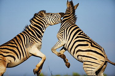 Burchell's Zebra (Equus burchellii) males sparring, Itala Game Reserve, South Africa  -  Richard Du Toit