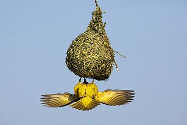 Masked-Weaver (Ploceus velatus) male displaying at nest, Gauteng, South Africa  -  Richard Du Toit