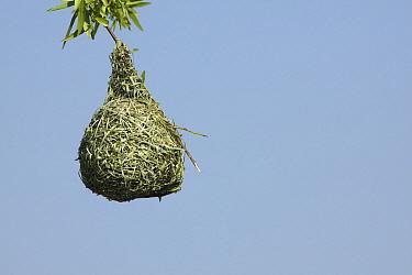 Masked-Weaver (Ploceus velatus) nest, Gauteng, South Africa  -  Richard Du Toit