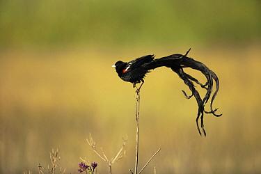 Long-tailed Widow (Euplectes progne) male in breeding plumage, Marievale Bird Sanctuary, South Africa  -  Richard Du Toit