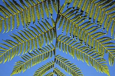 Tree Fern (Cyatheaceae) frond showing underside, Gauteng, South Africa  -  Richard Du Toit