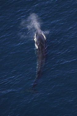 Fin Whale (Balaenoptera physalus) surfacing and spouting, California  -  Hiroya Minakuchi