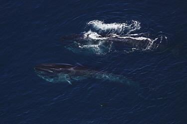 Fin Whale (Balaenoptera physalus) pair gulp feeding, California  -  Hiroya Minakuchi