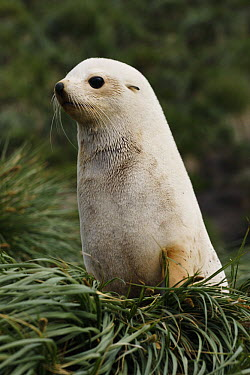 Antarctic Fur Seal (Arctocephalus gazella) pup, white morph, South Georgia Island  -  Hiroya Minakuchi