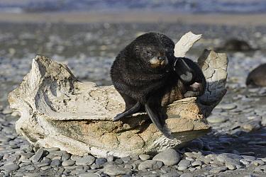 Antarctic Fur Seal (Arctocephalus gazella) pup on whale bone, South Georgia Island  -  Hiroya Minakuchi