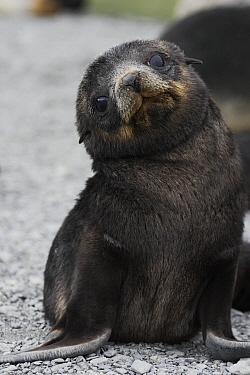 Antarctic Fur Seal (Arctocephalus gazella) pup, South Georgia Island  -  Hiroya Minakuchi