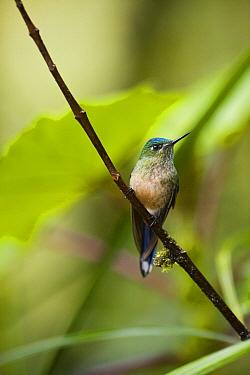 Long-tailed Sylph (Aglaiocercus kingi) hummingbird female in cloud forest, Tapichalaca Reserve, Ecuador  -  Pete Oxford