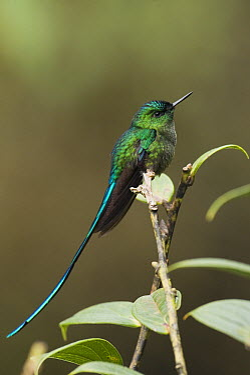 Long-tailed Sylph (Aglaiocercus kingi) hummingbird male in cloud forest, Tapichalaca Reserve, Ecuador  -  Pete Oxford