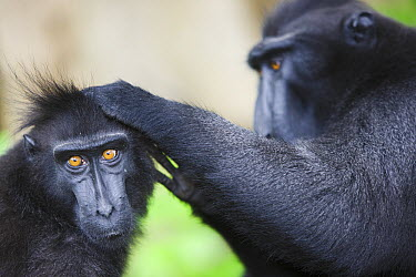 Celebes Black Macaque (Macaca nigra) pair delousing, Sulawesi, Indonesia  -  Theo Allofs