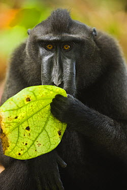 Celebes Black Macaque (Macaca nigra) licking rain water off leaf, Sulawesi, Indonesia  -  Theo Allofs