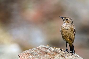 Familiar Chat (Cercomela familiaris) on a rock, Giant's Castle Nature Reserve, South Africa  -  Vincent Grafhorst