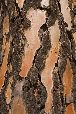 Pine (Pinus sp) tree bark, Rugged Glen Nature Reserve, South Africa  -  Vincent Grafhorst