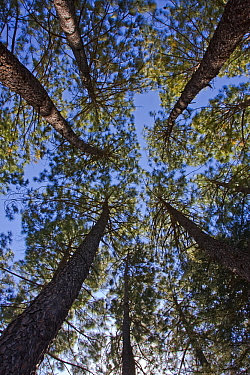 Pine (Pinus sp) forest towering into the sky, Rugged Glen Nature Reserve, South Africa  -  Vincent Grafhorst