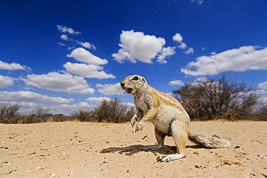 Cape Ground Squirrel (Xerus inauris), Kgalagadi Transfrontier Park, Botswana  -  Vincent Grafhorst