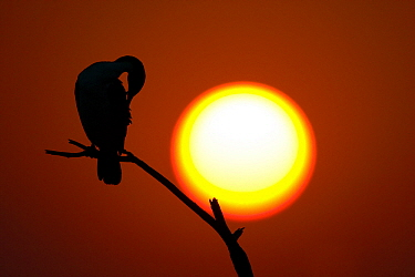 White-breasted Cormorant (Phalacrocorax lucidus) silhouetted by a setting sun, Botswana  -  Vincent Grafhorst