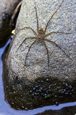 Fishing Spider (Dolomedes sp) in ambush position on stone, Mindo, Ecuador  -  James Christensen