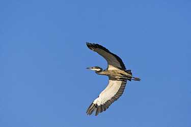 Black-headed Heron (Ardea melanocephala) flying, Gaborone Game Reserve, Botswana  -  Vincent Grafhorst
