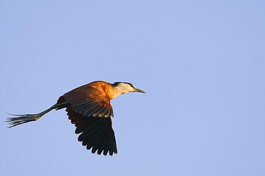 African Jacana (Actophilornis africanus) flying, Gaborone Game Reserve, Botswana  -  Vincent Grafhorst