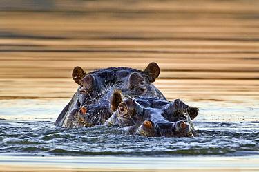 Hippopotamus (Hippopotamus amphibius) pair surfacing, Mokolodi Nature Reserve, Botswana  -  Vincent Grafhorst