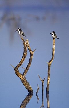 Pied Kingfisher (Ceryle rudis) pair on perch, Botswana  -  Vincent Grafhorst