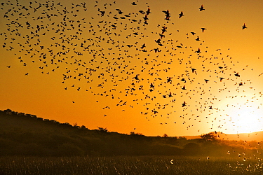 Red-billed Quelea (Quelea quelea) silhouetted flock flying at sunset, Mokolodi Nature Reserve, Botswana  -  Vincent Grafhorst