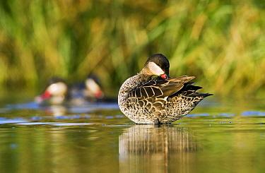 Red-billed Duck (Anas erythrorhyncha) preening in shallow water, Gaborone Game Reserve, Botswana  -  Vincent Grafhorst