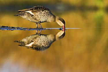 Red-billed Duck (Anas erythrorhyncha) drinking, Gaborone Game Reserve, Botswana  -  Vincent Grafhorst