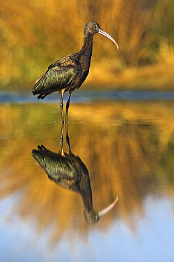 Glossy Ibis (Plegadis falcinellus) standing in shallow water with reflection, Gaborone Game Reserve, Botswana  -  Vincent Grafhorst