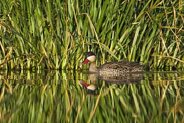 Red-billed Duck (Anas erythrorhyncha) swimming in wetland, Gaborone Game Reserve, Botswana  -  Vincent Grafhorst