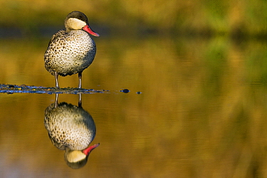 Red-billed Duck (Anas erythrorhyncha) standing in shallow water with reflection, Gaborone Game Reserve, Botswana  -  Vincent Grafhorst