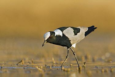Blacksmith Lapwing (Vanellus armatus) foraging in shallow water, Gaborone Dam, Botswana  -  Vincent Grafhorst