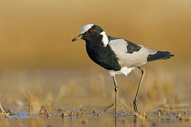 Blacksmith Lapwing (Vanellus armatus) wading through shallow water, Gaborone Dam, Botswana  -  Vincent Grafhorst