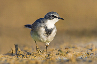 Cape Wagtail (Motacilla capensis) walking, Gaborone Dam, Botswana  -  Vincent Grafhorst