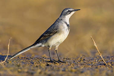Cape Wagtail (Motacilla capensis), Gaborone Dam, Botswana  -  Vincent Grafhorst