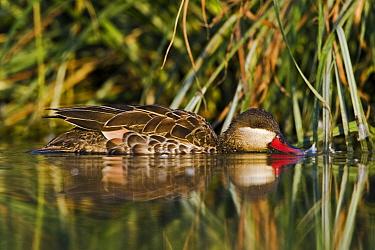 Red-billed Duck (Anas erythrorhyncha) foraging, Gaborone Game Reserve, Botswana  -  Vincent Grafhorst