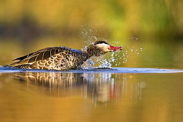 Red-billed Duck (Anas erythrorhyncha) bathing, Gaborone Game Reserve, Botswana  -  Vincent Grafhorst