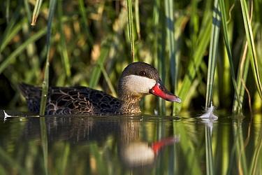 Red-billed Duck (Anas erythrorhyncha) in wetland habitat, Gaborone Game Reserve, Botswana  -  Vincent Grafhorst
