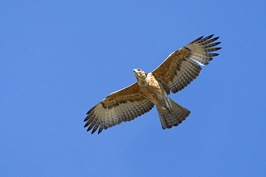 Tawny Eagle (Aquila rapax) flying, Gaborone Dam, Botswana  -  Vincent Grafhorst