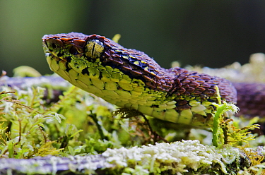 Eyelash Viper (Bothriechis schlegelii) juvenile on mossy tree, Mindo, Ecuador  -  James Christensen
