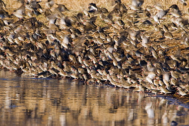 Red-billed Quelea (Quelea quelea) flock taking flight from the water's edge, Makgadikgadi, Botswana  -  Vincent Grafhorst