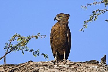 Brown Snake-Eagle (Circaetus cinereus), Makgadikgadi, Botswana  -  Vincent Grafhorst
