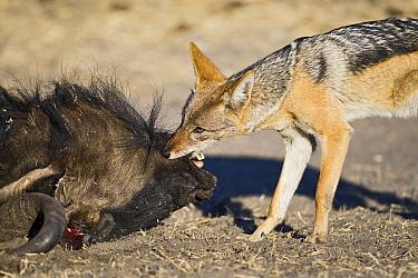 Black-backed Jackal (Canis mesomelas) feeding on the head of a Blue Wildebeest (Connochaetes taurinus), Makgadikgadi, Botswana  -  Vincent Grafhorst