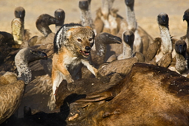 Black-backed Jackal (Canis mesomelas) scaring off African White-backed Vultures (Gyps africanus) from Blue Wildebeest (Connochaetes taurinus) carcass, Makgadikgadi, Botswana  -  Vincent Grafhorst