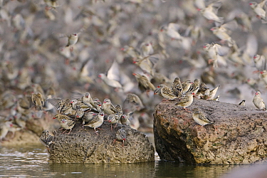 Red-billed Quelea (Quelea quelea) flock flying and sitting on rocks in the water, Makgadikgadi, Botswana  -  Vincent Grafhorst