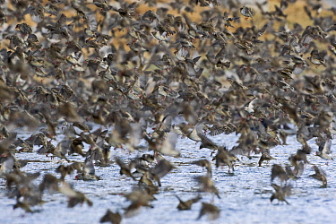 Red-billed Quelea (Quelea quelea) flock flying over waterhole, Makgadikgadi, Botswana  -  Vincent Grafhorst