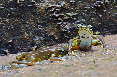 Sapo Limosa (Atelopus limosus) encounter between male toads, loser pressing abdomen against substrate, central Panama  -  James Christensen